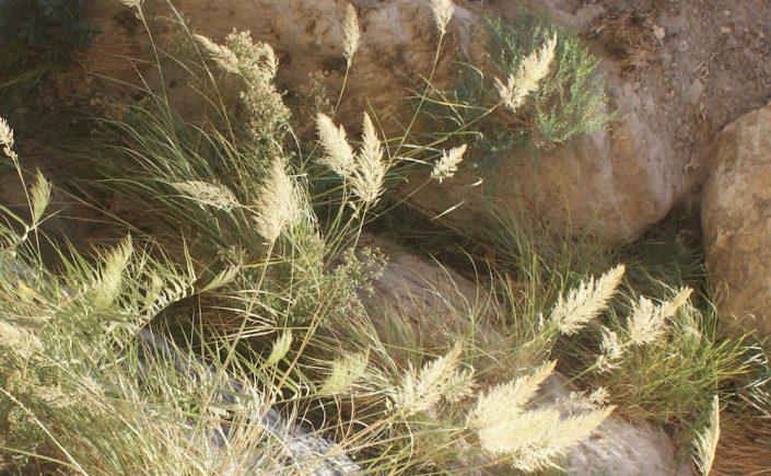 En Gedi Grass
