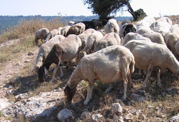 Sheep_hillside
