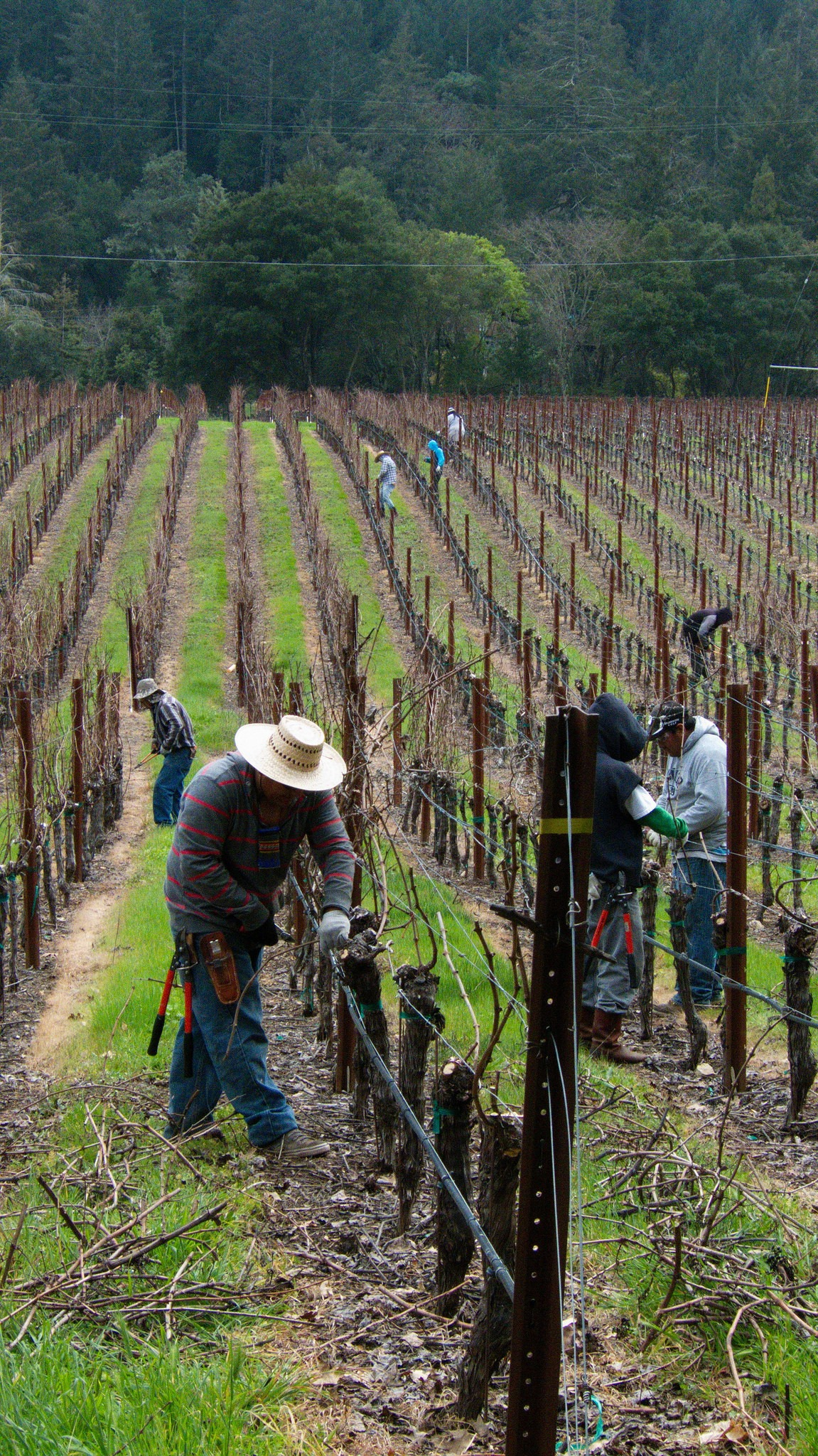 Workers Tend to Vineyard