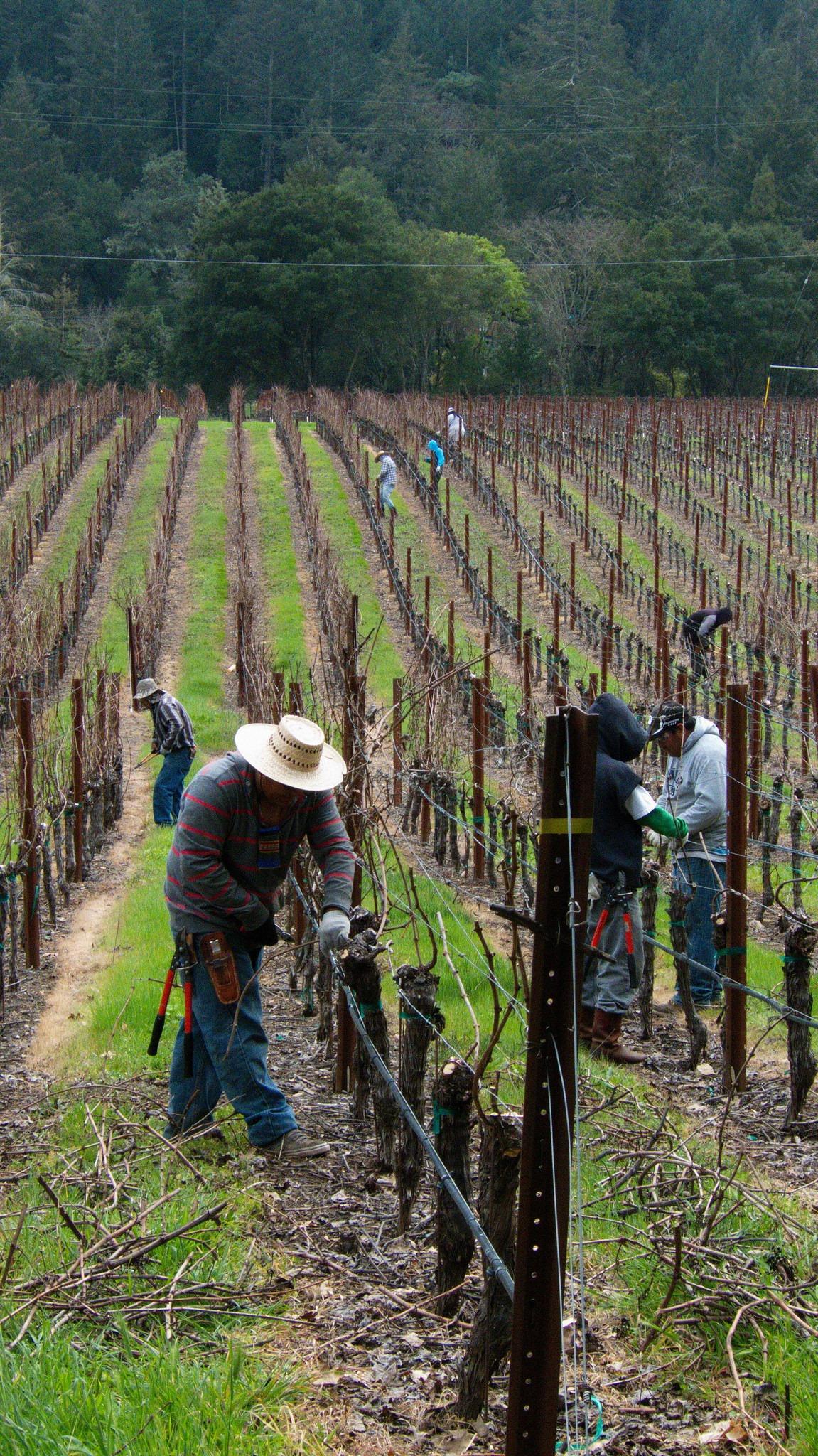 Workers Tend to Vineyard