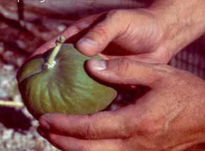 Arara - cursed fruit