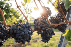 Vineyard grabes vine