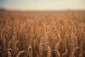 Wheat field chaff